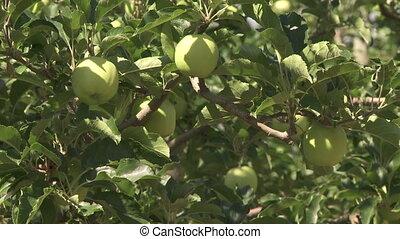 arbre, pommes