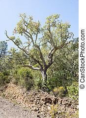 arbre, portugal, bouchon