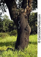 arbre, suber), forêt, bouchon, (quercus