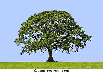 arbre, symbole, force, chêne