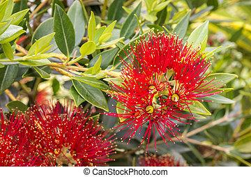 arbre, zélande, noël, clair, fleurs, nouveau, fleur, rouges
