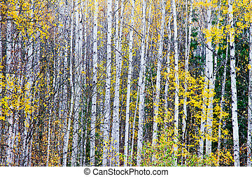 arbres, bouleau