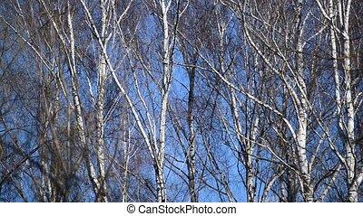 arbres, ciel bleu, fond, nu, vent, mouvementde va-et-vient