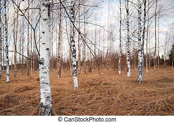 arbres nus, bouleau