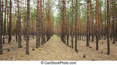 arbres, printemps, 4k, 240fps, conifère, 2160p., vidéo, forest.