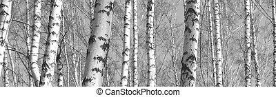 arbres, troncs, bouleau