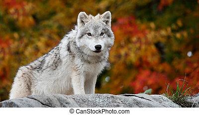 arctique, jeune regarder, appareil photo, loup, diminuez jour