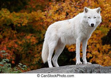 arctique, regarder, appareil photo, loup, diminuez jour
