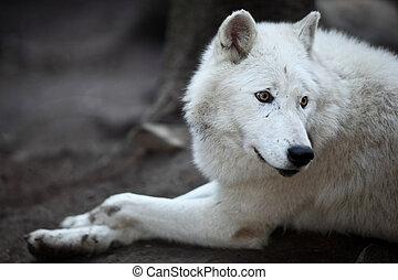 arctos), polaire, lupus, ou, ceci, (canis, arctique, -, gros plan, prédateur, beau, loup, portrait, blanc, aka