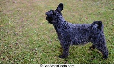 around., extérieur, chien, miniature, marche, amusement, schnauzer, courant