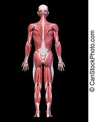 arrière, mâle, entiers, système, figure, vue., corps, musculaire, humain