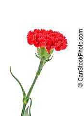 arrière-plan., fleurs blanches, rouges, oeillet
