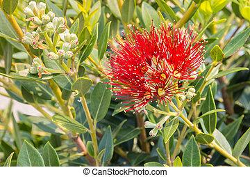 arrière-plan rouge, fleur, nouveau, espace, arbre, noël, fleurs, brouillé, zélande, copie