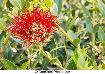 arrière-plan rouge, fleur, nouveau, metrosideros, arbre, noël, -, excelsa, fleurs, brouillé, zélande