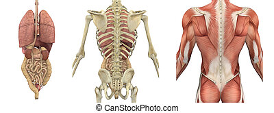 arrière, torse, overlays, -, anatomique