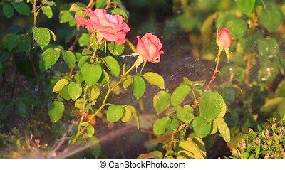 arrosage, roses, chaud, jardin, jour