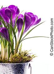 art, printemps, fond, beau, isolé, fleurs blanches