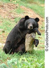 asiatique, ours noir