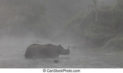 asiatique, rhinocéros