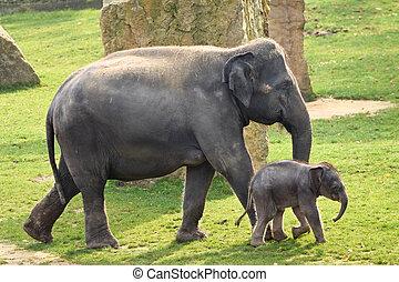 asiatique, veau, éléphant