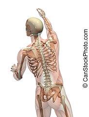 atteindre, tourner, semi-transparent, squelette, -, muscles