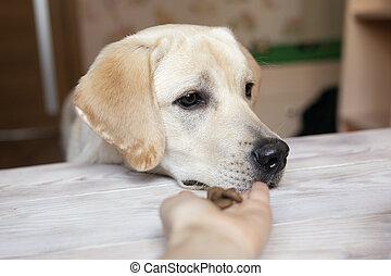attente, patiemment, propriétaire, quoique, prendre, traitement, main., chiens, permet, formation, chiot, sien, labrador