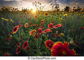 aube, wildflowers, sur, texas, frais