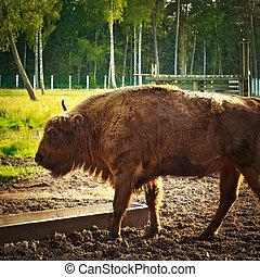 aurochs, sanctuaire, vie sauvage