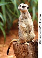 australien, meerkat
