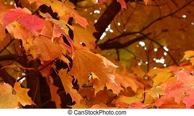 automne, arbre, érable
