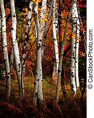 automne, arbres, bouleau