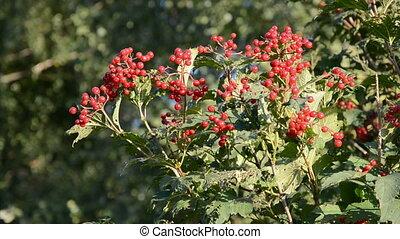 automne, baie rouge, viburnum, branche