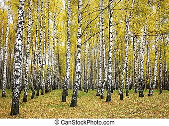automne, bosquet, bouleau