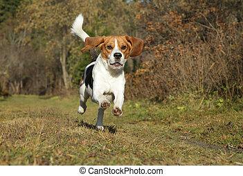 automne, courant, parc, beagle