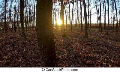 automne, ensoleillé, chêne, forêt, jour