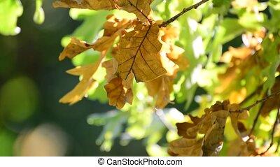 automne, ensoleillé, chêne, jour, vent