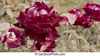 automne, grand, jardin, roses rouges