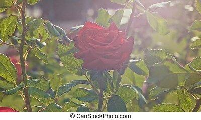 automne, parc, ensoleillé, rosebushes