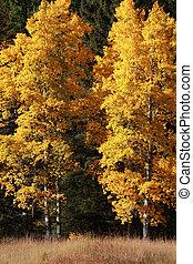 automne, peuplier, arbres