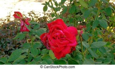 automne, rose, vent, mort, temps