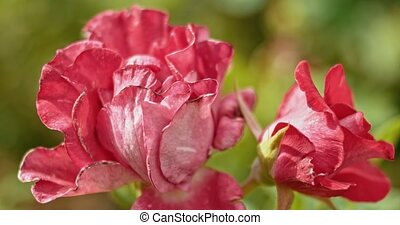 automne, roses, red-and-pink, jardin, temps