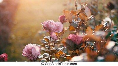automne, roses, triste, jardin, décliner