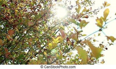 automne, tard, branches, viburnum