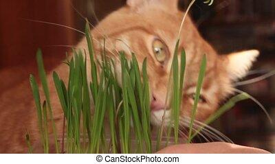 avoine, mange, chat, vert, pousses, rouges