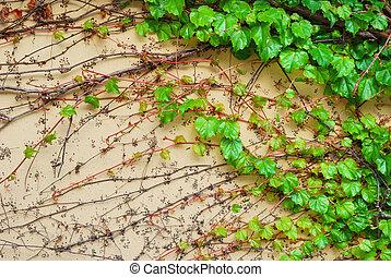 bâtiment, mur, liane, feuilles, vigne, vert