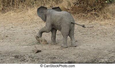 bébé, éléphant africain