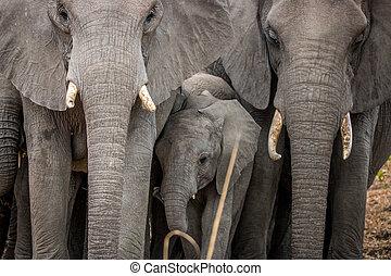 bébé, entre, troupeau, elephants., éléphant