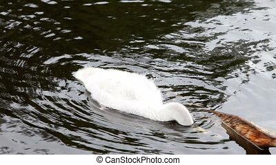bébé, lac cygne, oiseau