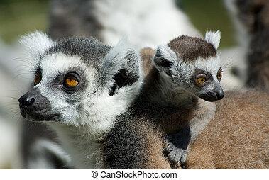 bébé, lemur, sonne-tailed