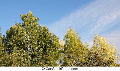 b, arbres, automne, peuplier, sous, vent